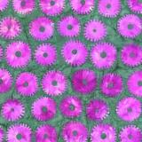 Tissu Kaffe Fassett saw circles-pink - 22